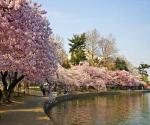 «Цветение сакуры» для туристов в Японии